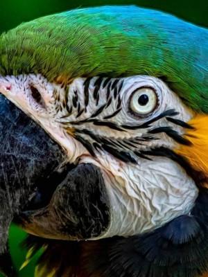 macawa amarillo close up