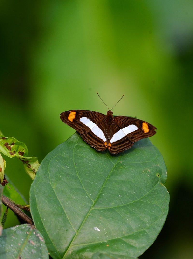 mariposamarronalsol