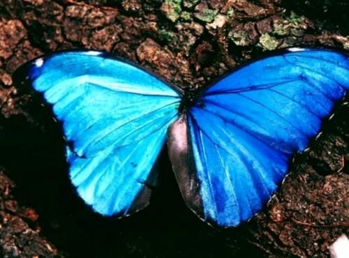 morfo azul